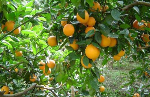 柑橘施用万博app下载最新版肥.jpg