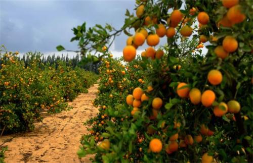 柑橘用万博app下载最新版肥图片.jpg