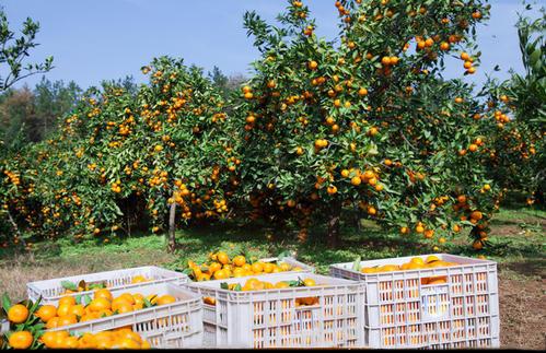 柑橘使用高钾万博app下载最新版肥丰收.jpg