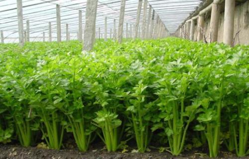 芹菜如何种植?看看河北的王大哥种植的芹菜施什么肥长得快?